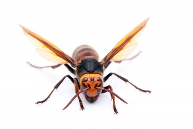 スズメバチ - スピード